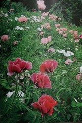 2008、稲かり〜ターシャの庭 183.jpg