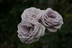 まいつるバラ、お寺 004.jpg