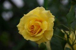 まいつるバラ、お寺 005.jpg