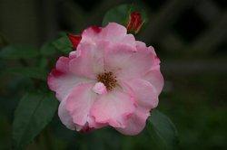 まいつるバラ、お寺 009.jpg