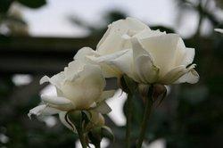 まいつるバラ、お寺 012.jpg