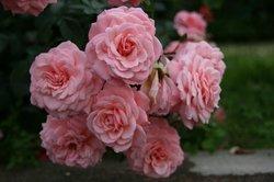 まいつるバラ、お寺 056.jpg