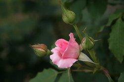まいつるバラ、お寺 074.jpg
