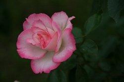 まいつるバラ、お寺 085.jpg