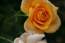 まいつるバラ、お寺 086.jpg