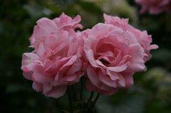 まいつるバラ、お寺 088.jpg
