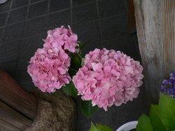 まいつるバラ、お寺 211.jpg