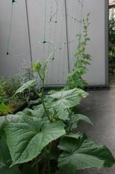 家庭菜園庭7月 057.jpg