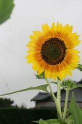 家庭菜園庭7月 003.jpg