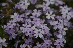 庭の花 736.jpg