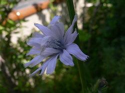 庭の花(押し花) 097.jpg