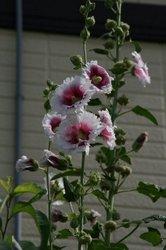 庭菜園6月 022.jpg