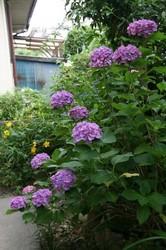 庭菜園6月 127.jpg