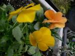 日本、庭の花ビオラ、薬後楽園、回転すし 012.jpg