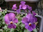 日本、庭の花ビオラ、薬後楽園、回転すし 030.jpg
