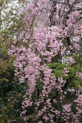 され下がる桜.JPG