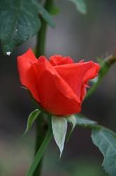 つぼみのバラ.jpg