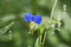 つゆ草.jpg