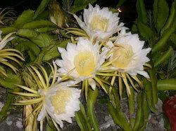 ドラゴンフルーツの花.jpg