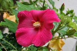 ピンク 雨しずく芙蓉.jpg