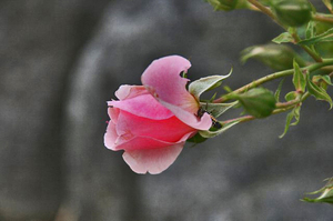 富士と薔薇-114.jpg