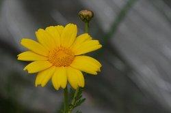 春菊.jpg