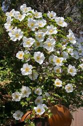 満開の花.jpg