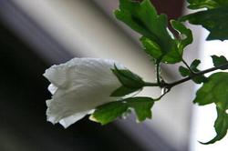 白い.jpg木槿.jpg