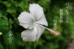 白い ハイビスカス.jpg