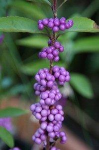 紫シキブ.jpg