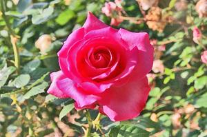 薔薇-067.jpg