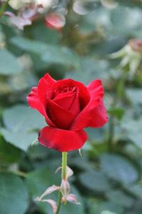 薔薇-083.jpg