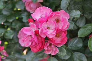 薔薇-118.jpg