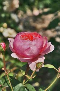 薔薇-122.jpg