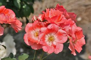 薔薇-167.jpg