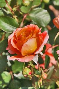 薔薇-210.jpg