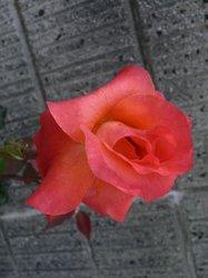 赤い薔薇.jpg