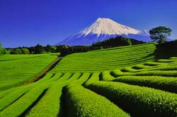 静空茶畑-015.jpg