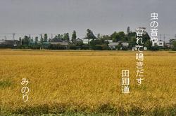 黄金.田圃の俳句.jpg