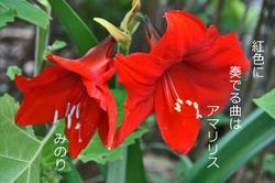 庭アマリリス-006.jpg