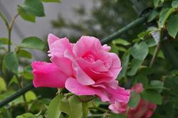 薔薇 ピンク.jpg