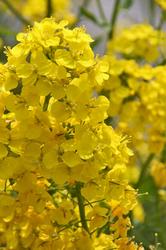 黄色3.jpg
